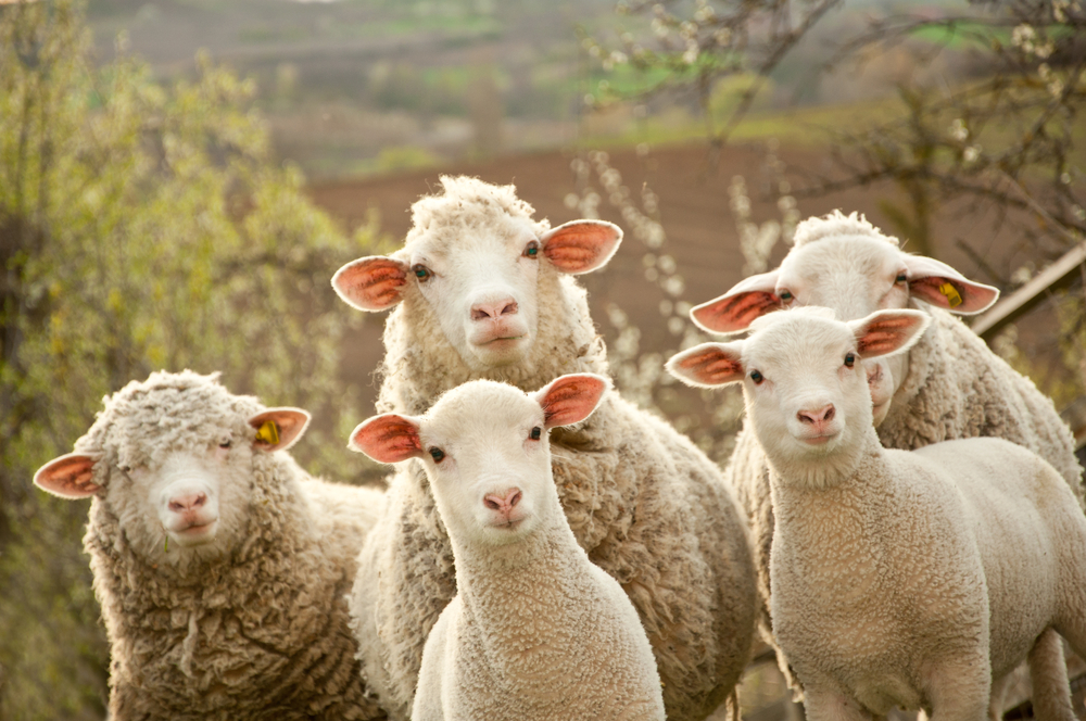 sheep wool insulation - multiple sheep in field